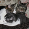 alteredzed: Three cats squished in one cat bed (alteredzed, general, kittypile)