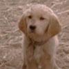 mildred_of_midgard: golden retriever puppy (dog)
