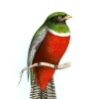 underused: an illustration of a collared trogon,  a type of tropical bird (Default)