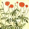 kore: (Poppy illustration in old book)