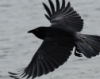 nephilimeq: crow in flight (crow)