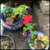 vladdraculea: Photo of two flower pots with a variety of little flowers (Sage)