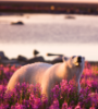 fluffypanda: Photo of a polar bear in a field of flowers (default, flowers, polar bear)