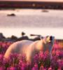 fluffypanda: Photo of a polar bear in a field of flowers (default, flowers, polar bear)
