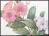 nightdog_barks: Periwinkle flowers by Pierre Joseph Redoute (Flower periwinkle)