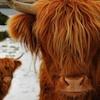 shetlandowl: (la mucca scozzese)