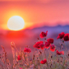 soundofsunlight: Poppies at sunset, my default icon. (sandstone)
