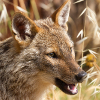 soundofsunlight: Photo of a jackal with a happy smile. (happy)