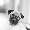 piratesunk: (Pug puppy)