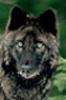 jolantru: (black wolf) (Default)