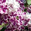 umadoshi: (lilacs 02)
