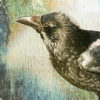 magpyr: picture of a raven (raven)