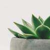 nirso: (succulent)