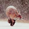 nathanialroyale: (Fox)