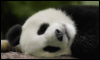starrchilde: (Panda)