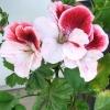 thefavorista: Geranium 'Gardener's Joy' (flower, geranium)