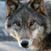 lleullawgyffes: a wolf looking at the camera (Default)