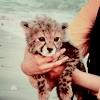harangkaori: (cheetah)