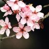 sungjae: (sakura)