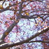 minkhollow: view from below a copper birch at Mount Holyoke (sunday in the sunset leaves)