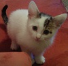 disreputablecat: Adorable quizzical kitten (kitten)