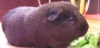 thnidu: a dark brown guinea pig we used to have (dunkelpig)