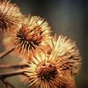 teigh_corvus: ([Misc.] [Plants] Burdock burrs)