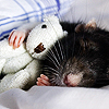 sarcasticsra: A picture of a rat snuggling a teeny teddy bear. (stephen: aren't I cute?)
