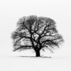 coffeeontherocks: Picture of a tree on a white background (Stock - Tree)