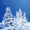 auroracloud: (snowy trees)