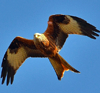 angelofthenorth: Red Kite soaring (RedKite-3)