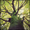manybranches: An upwards facing photo of a tree trunk with branches sprouting from it. (manybranches)