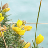 cky: A bunch of gorse at Beachlands (beachlands)