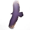 klgaffney: a black vulture silhouetted against bright sunlight. (vulture family)