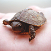 defiant: (Stock - Itty Turtle)