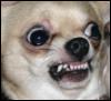 eggums: (chihuahua, dog, who i am)