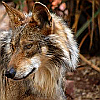 finalizes: (wolf: looking)