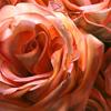 serai: (Roses)