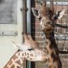 anarchist_nomad: (Giraffes)