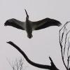 moodyduck: (pelican)