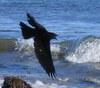 moodyduck: (crow)
