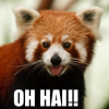 "triadruid: Red Panda with the caption ""Oh Hai!"" (red panda, ohai!)"