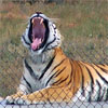mis_creation: (Tiger Yawn)