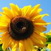 strumbella: (sunflower)