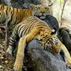 ebenbrooks: (Flat Tigers)