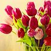 zimena: (Nature - Tulips)