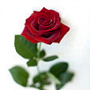 munchkin: (red rose)