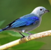 razinthia: A picture of a Blue-Gray Tanager. (Default)