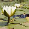 lilymaid: pond lilies (Default)