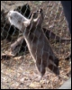 hilarita: otter hanging onto the sides of a mesh fence, waiting for food (hungry)